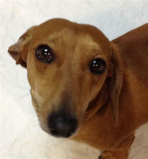 petfinder dogs pin by words with wieners on dachshunds looking for a home