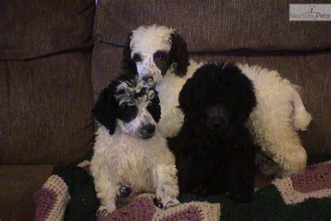 poodle puppies for sale in sc decker pups poodle standard puppy for sale near greenville upstate south carolina