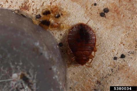 bed bug predators bed bug cimex lectularius hemiptera cimicidae 5380034