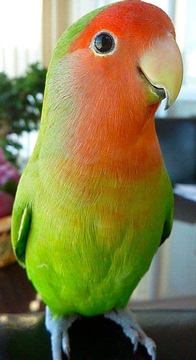 such a sweet lovey peach faced lovebird birds