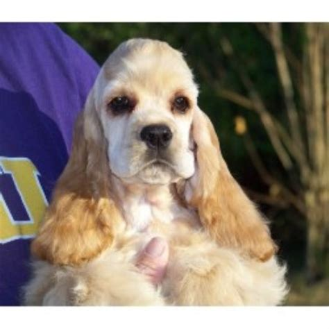 shih tzu treasures american cocker spaniel breeders in the usa and canada freedoglistings page 2