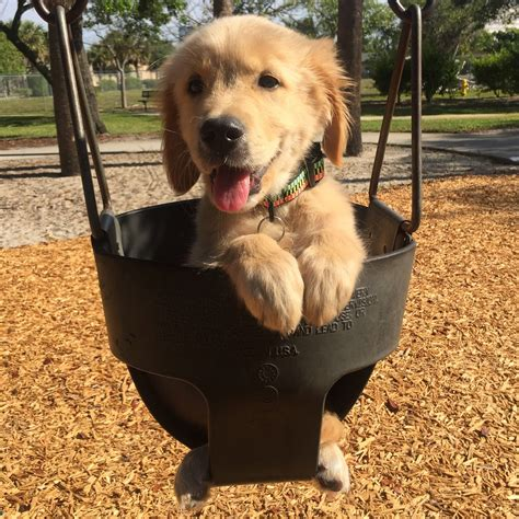 chion golden retriever un chiot golden retriever fait de la balan 231 oire au parc