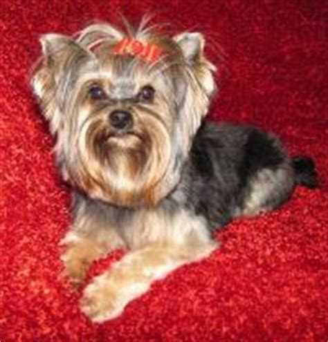 houston yorkies for sale teacup yorkie puppies for sale in houston parti yorkies white