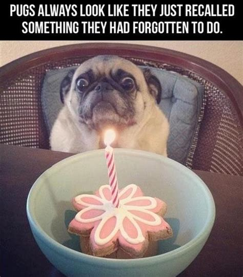 what do pugs like to do for oh no i forgot to