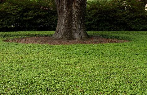 ground cover turf grass outdoor plants ground cover outdoor plants gallery xtend studio com