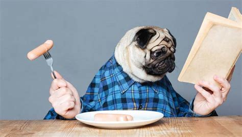 what makes a pug best food for pugs 2018 how to feed what to feed pugs