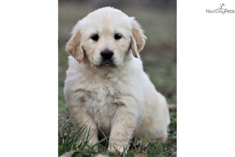 golden retriever breeders in missouri golden retriever puppy for sale near southeast missouri missouri a8233c7c c881