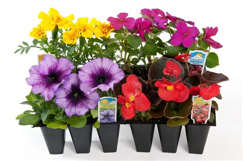 bedding plants 1803 bedding plants wholesale bedding plants hybels inc