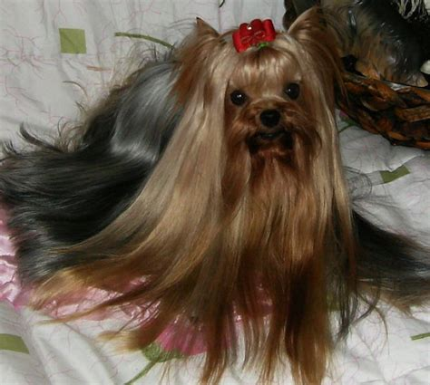 where to get a yorkie puppy tips for a great yorkie hair cut
