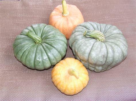 queensland blue growing queensland blue pumpkins winter squash the