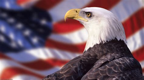 bald eagle wallpaper hd images one hd wallpaper pictures