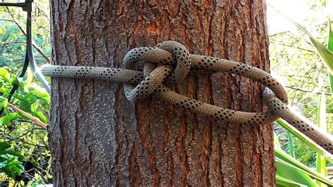 running bowline tree swing arborist knots how to tie the running bowline knot youtube