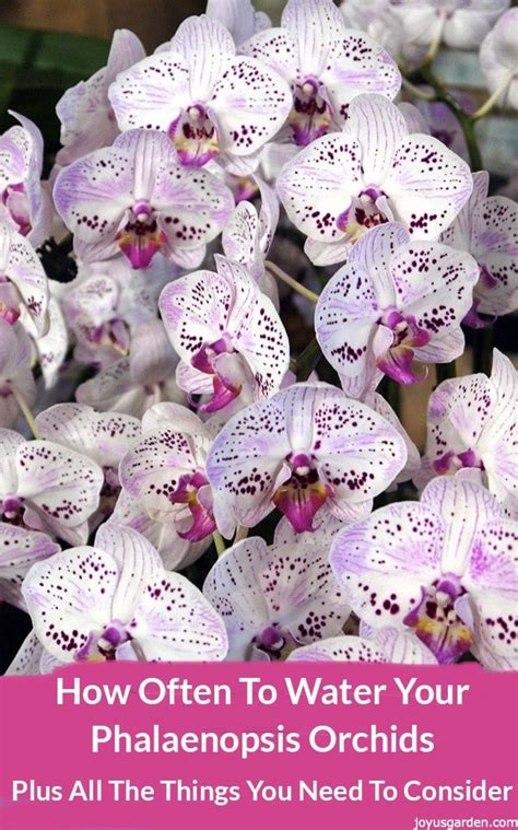 how often to water your phalaenopsis orchids plus all the