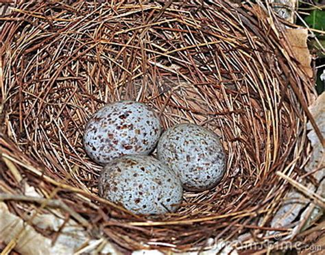 cardinal eggs color northern cardinal eggs cardinalis cardinalis stock