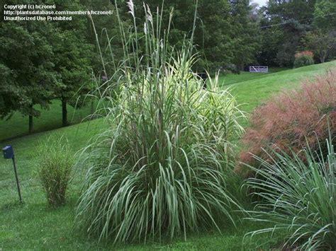 plantfiles pictures ravenna grass plume grass hardy pas grass erianthus ravennae 1 by