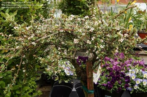 Gardens Dearborn plantfiles pictures bearberry cotoneaster coral cotoneaster x suecicus by daylilyslp