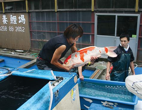 koi singapore new year cull koi are a treasured gift pond trade magazine