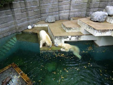 zoologischer garten läden www zoo wuppertal net eisb 228 rin anori und eisb 228 r luka
