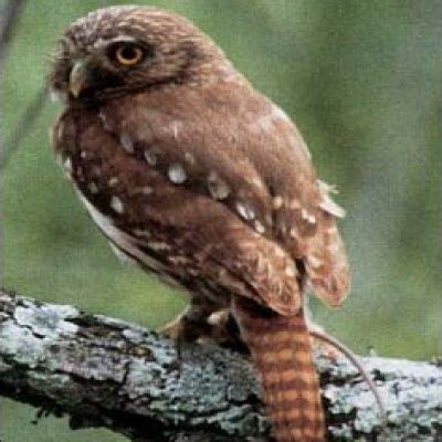 cactus ferruginous pygmy owl diet datesposts