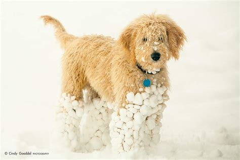 goldendoodle puppy not goldendoodle puppy goeddel photography llc