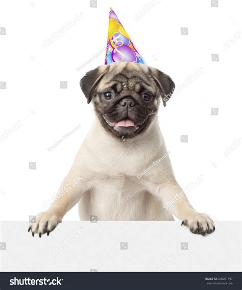 pug with hat pug puppy birthday hat peeking stock photo 268201397