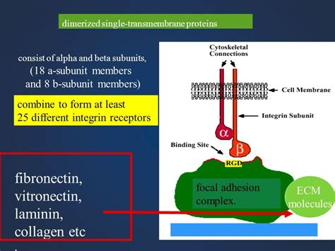 s protein vitronectin multicellular organisms ppt