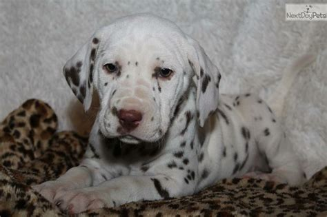 dalmatian puppies for sale michigan 17 best ideas about dalmatian puppies for sale on dalmatians dalmatian