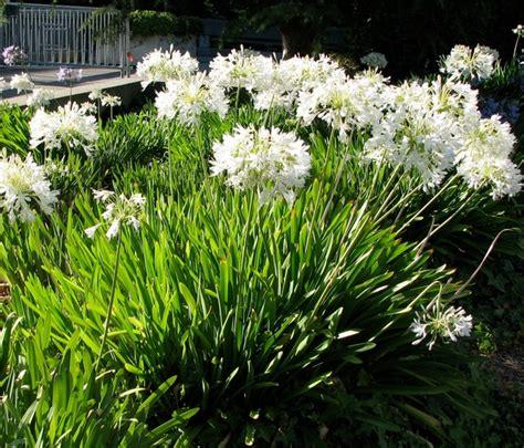 Agapanthus Biru tanaman agapanthus putih white