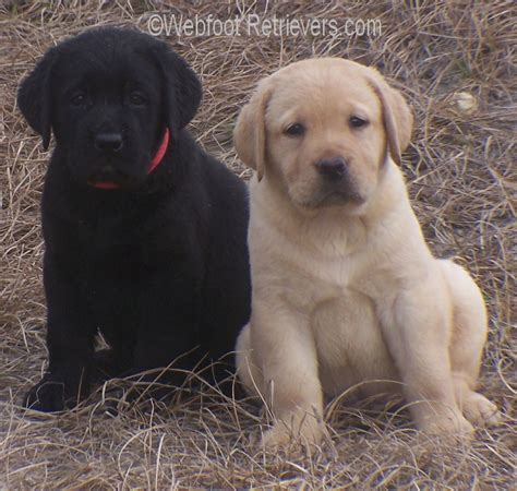 lab puppies for sale in sc labrador retriever ginumarioscasa foto 1949 257183