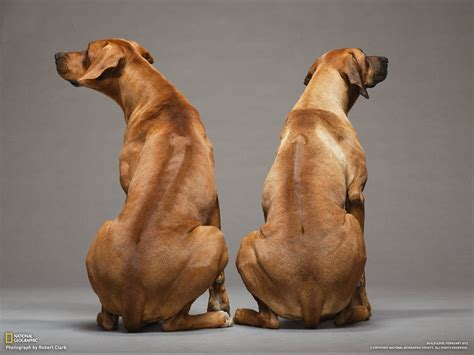 rhodesian ridgeback puppies how to build a photo gallery pictures more from national geographic magazine