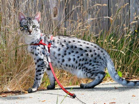 Catmopolitan.ca Savannah cat breed TICA F3 F4 F5   Wix.com