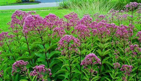 a little joe pye weed love an obsessive neurotic gardener
