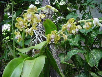 Bibit Anggrek Bantul tissue culture and orchidologi mengeluarkan bibit anggrek