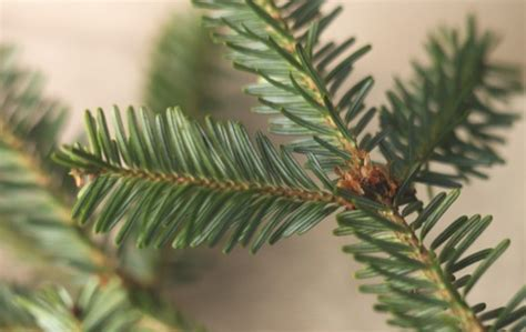 how to buy the best christmas tree gardens illustrated
