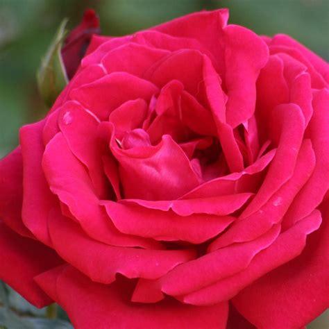 imagenes bellas rojas fotos rosas rojas hermosas imagui