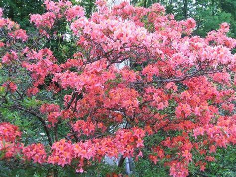 Arbuste A Fleurs by Arbuste 224 Fleurs Rouges Par Jeanne Fery Sur L Internaute