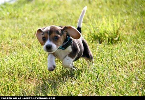 puppy running running puppy puppies