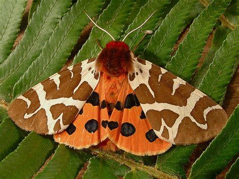 Garden Tiger Moth by 1221 Arctia Caja Garden Tiger Moth 8166 Arctia Caja