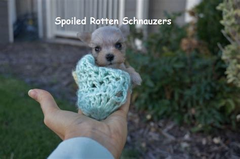 teacup schnauzer puppies micro teacup schnauzer puppies breeder of t cup schnauzers