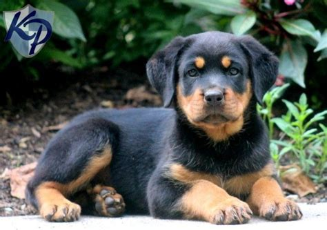 baby rottweilers for sale 3047 best images about rottweiler on best dogs bc canada and