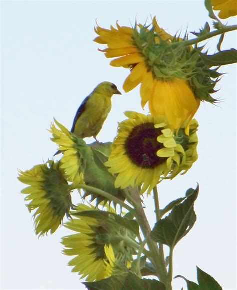1000 images about birds on pinterest sunflower seeds