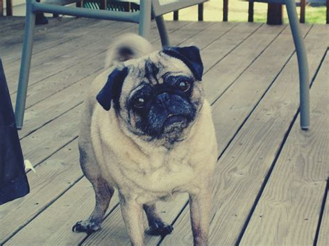 odie the pug 6 animals who can really talk make the world smile humor nation