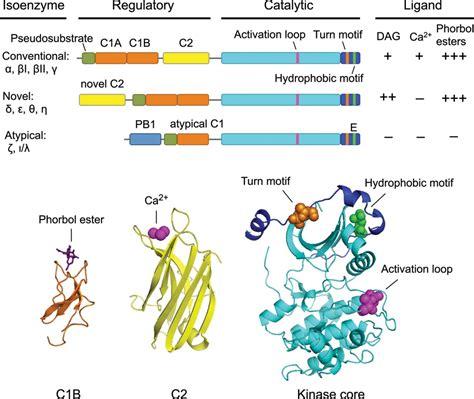 c protein kinase protein kinase c pharmacology refining the toolbox