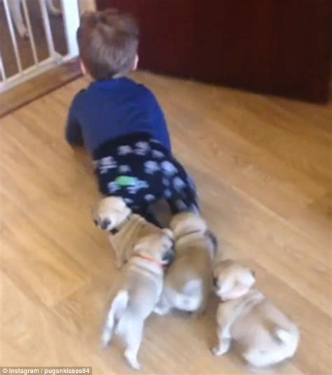 baby clothes with pugs on them shows seven week pug puppies chasing toddler louie around the kitchen