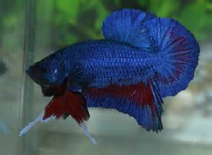 Betta Fish Afira: Betta HMPK Blue Dragon Line Thai