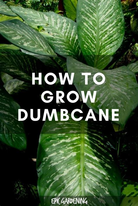 dieffenbachia plant care   grow dumb cane plants