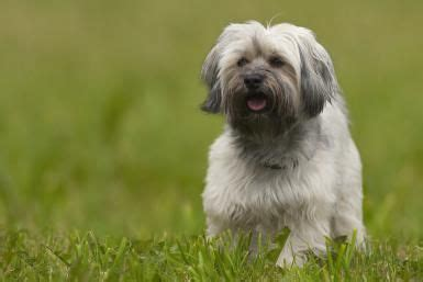 problems with havanese 1000 images about dogs breeds on