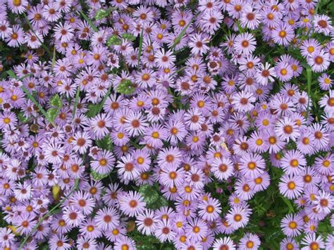 aster fiori blue aster flowers