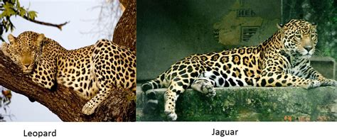 animal of the day 12 28 2011 the jaguar simba nia s