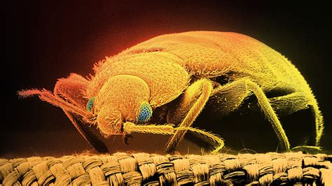 can bed bugs live on air mattress can bed bugs live on air mattress sleep tight don t let